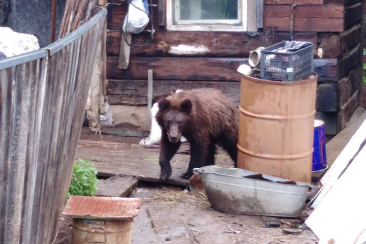 A bear that fled wildfires in Siberia came to people to seek help in the village of Zamzor, Irkutsk region, 1 August 2019. The bear turned out to be aggressive and was shot. Photo: The Siberian Times