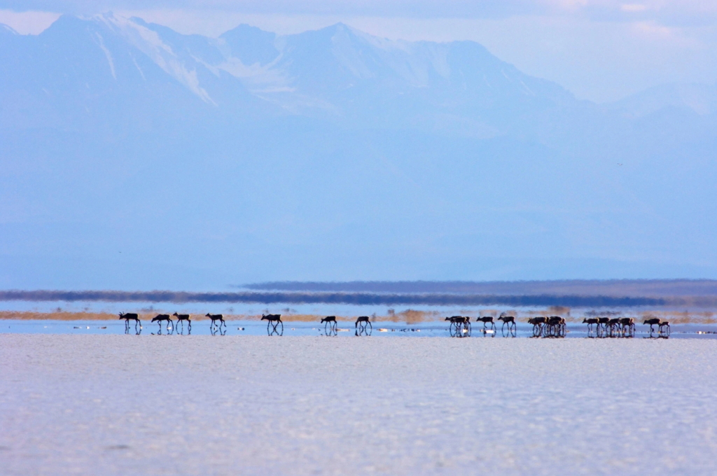 A herd of caribou in the coastal plain of the Arctic National Wildlife Refuge. Photo: Steven Kazlowski / Alamy