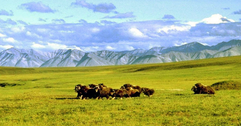 A herd of musk ox graze in an area of the Arctic National Wildlife Refuge in Alaska. Photo: Arctic National Wildlife Refuge / AP