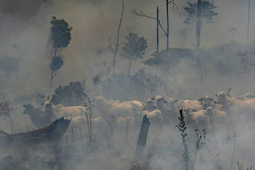 A herd of cattle stand in smoke from the fires at the Nova Fronteira region in Novo Progresso, Brazil on 3 September 2019. Photo: Leo Correa / AP