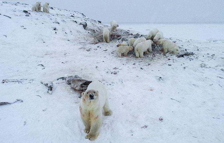 "Abnormally warm weather in Russia's easternmost region caused a polar bear ""siege"" with 56 predators gathered at a site near the village of Ryrkaipiy in Chukotka on 5 December 2019. Photo: WWF Russia / The Siberian Times"
