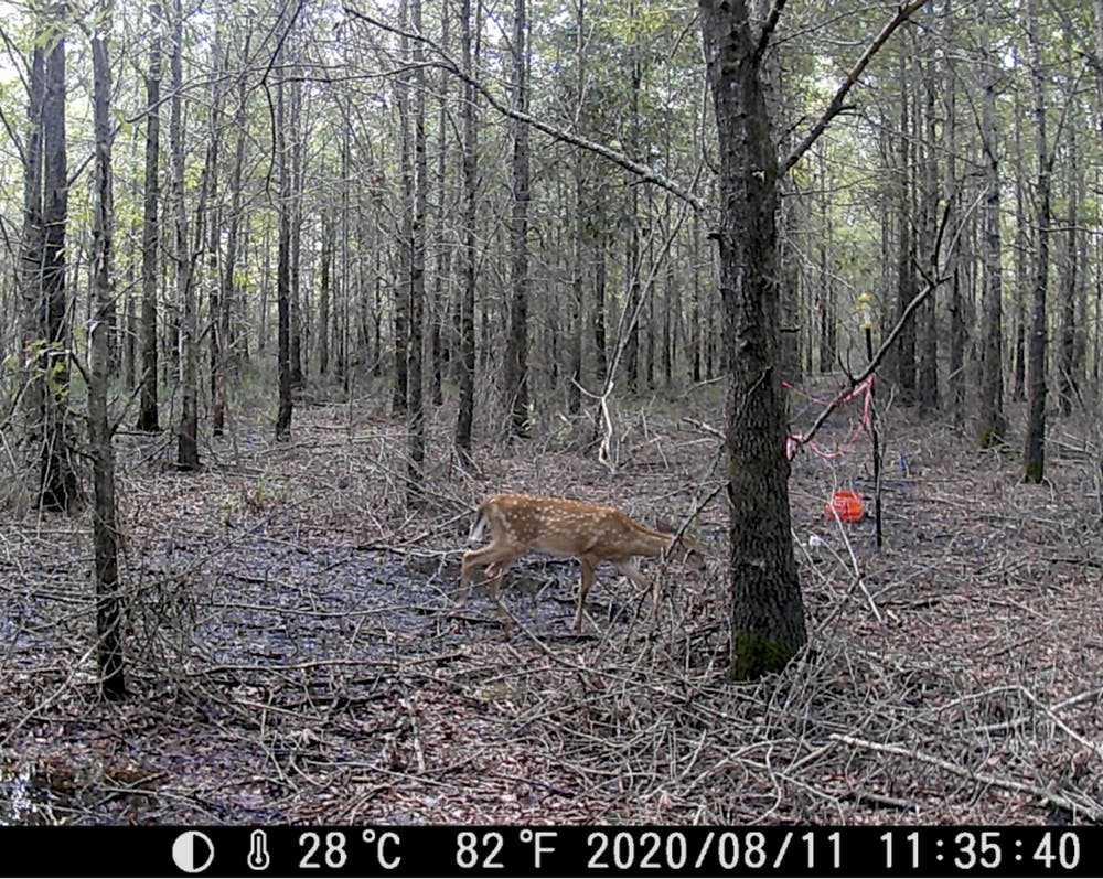 Deer photographed by a remote camera on 11 August 2020 in a forest destroyed by climate change in North Carolina. Sea level rise and saltwater intrusion are killing trees en masse, causing ghost forests. Photo: Emily Ury